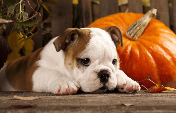 la calabaza para perros con diarrea